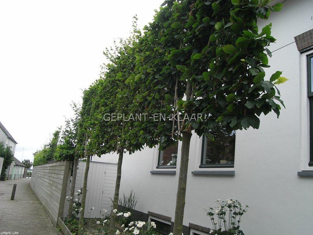 Leibeuk Geplant-en-Klaar! kwaliteit in leibomen en vormbomen: www.leibomenwinkel.geplant-en-klaar.nl/index.php?item=groene...